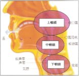 喉のセクション